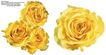 玫瑰花束0097,玫瑰花束,鲜花,大小 颜色 黄色花朵