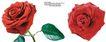 玫瑰花束0099,玫瑰花束,鲜花,红色花朵 朝向 绿叶