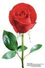 玫瑰花束0101,玫瑰花束,鲜花,水珠 红玫瑰 鲜艳花朵