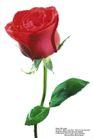 玫瑰花束0102,玫瑰花束,鲜花,花梗 枝条 花束