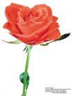 玫瑰花束0104,玫瑰花束,鲜花,
