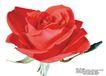 玫瑰花束0107,玫瑰花束,鲜花,