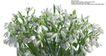 百合花0036,百合花,鲜花,百合 花束 绿色