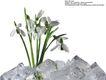百合花0041,百合花,鲜花,冰块 百合花 鲜花