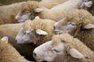 动物表情农场0052,动物表情农场,农业,
