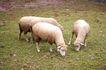 动物表情农场0060,动物表情农场,农业,草原 几只羊 吃草