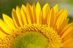 向日葵0022,向日葵,植物,