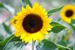 向日葵0026,向日葵,植物,