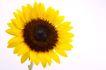 向日葵0027,向日葵,植物,