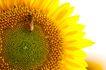 向日葵0028,向日葵,植物,
