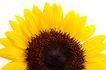 向日葵0029,向日葵,植物,