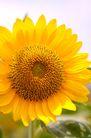 向日葵0030,向日葵,植物,