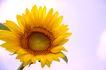 向日葵0033,向日葵,植物,