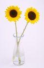 向日葵0035,向日葵,植物,