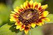 向日葵0036,向日葵,植物,