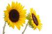 向日葵0037,向日葵,植物,