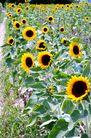 向日葵0040,向日葵,植物,
