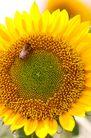向日葵0041,向日葵,植物,
