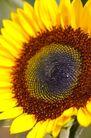 向日葵0042,向日葵,植物,