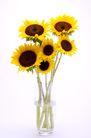 向日葵0043,向日葵,植物,