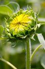 向日葵0044,向日葵,植物,