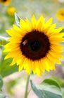 向日葵0045,向日葵,植物,