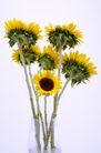 向日葵0048,向日葵,植物,