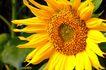 向日葵0055,向日葵,植物,