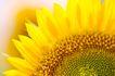 向日葵0057,向日葵,植物,