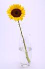 向日葵0059,向日葵,植物,