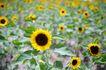 向日葵0063,向日葵,植物,
