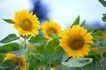 向日葵0064,向日葵,植物,