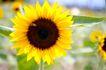 向日葵0065,向日葵,植物,