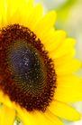 向日葵0067,向日葵,植物,