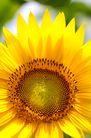 向日葵0068,向日葵,植物,