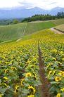 向日葵0070,向日葵,植物,