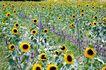 向日葵0071,向日葵,植物,