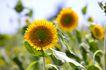 向日葵0072,向日葵,植物,