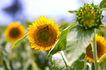 向日葵0073,向日葵,植物,