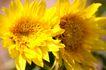 向日葵0074,向日葵,植物,