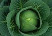 素材瓜果0095,素材瓜果,生活百科,包菜 卷心菜 叶纹