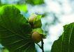 经典生活0038,经典生活,生活百科,绿叶 果子 果实