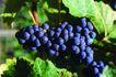 食物背景0051,食物背景,生活百科,紫葡萄 丰收季节
