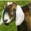 动物创意0012,动物创意,广告创意,羊儿