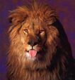 动物创意0018,动物创意,广告创意,狮子 红舌头