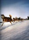 动物创意0034,动物创意,广告创意,狼狗 雪地 宠物