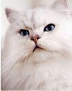 动物创意0038,动物创意,广告创意,小猫 白色 眼睛