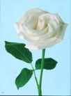 花朵创意0001,花朵创意,广告创意,白玫瑰