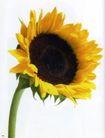 花朵创意0013,花朵创意,广告创意,一朵向日葵