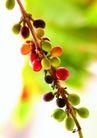 咖啡0054,咖啡,美食,一串果实 颜色各异
